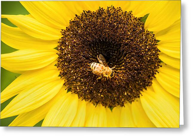 Yellow Sunflower Greeting Cards - Honeybee at Work Greeting Card by Don Johnson
