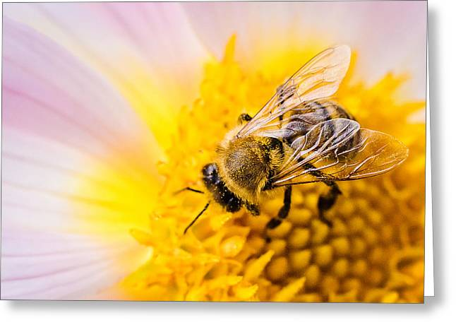 At Work Greeting Cards - Honeybee collecting pollen Greeting Card by Cristina-Velina Ion