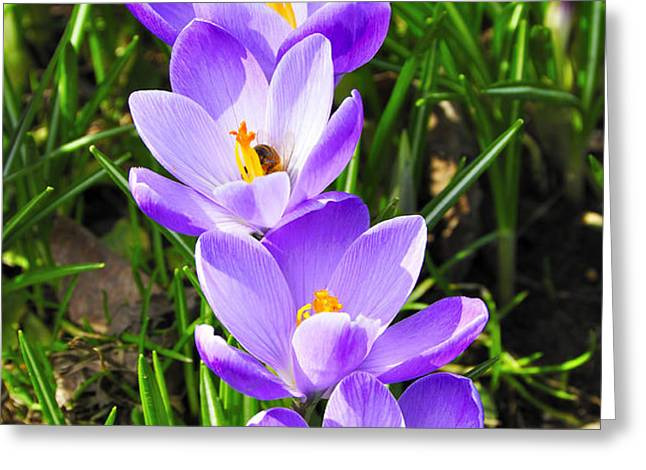 Honeybee working Crocus Greeting Card by Thomas R Fletcher