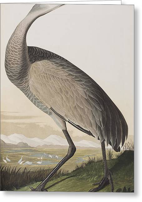 Crane Greeting Cards - Hooping Crane Greeting Card by John James Audubon