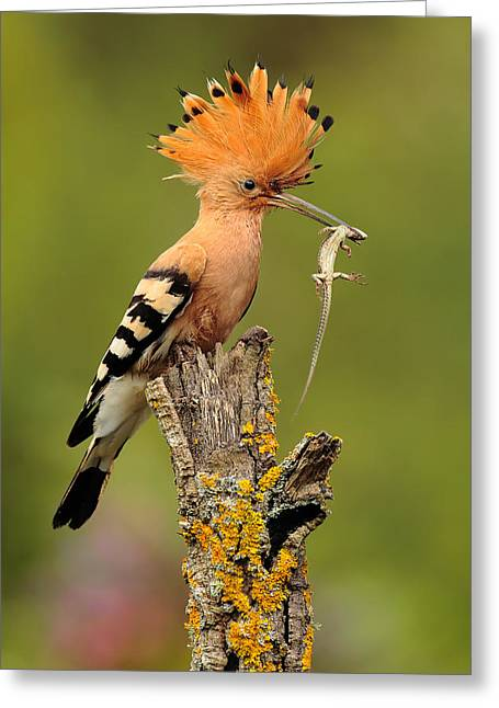 Lizard Greeting Cards - Hoopoe With Lizard Greeting Card by Andres Miguel Dominguez