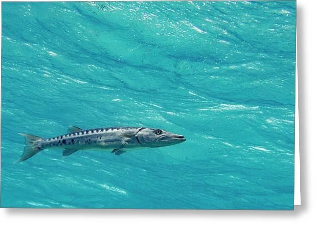 Hoovering Barracuda Greeting Card by Jean Noren