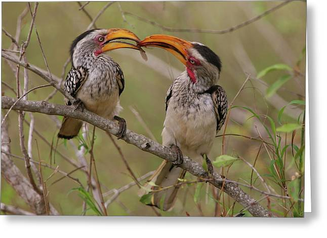 Hornbill Love Greeting Card by Bruce J Robinson