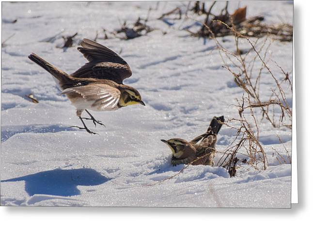 Concord Greeting Cards - Horned Lark Greeting Card by Phillip McNeil
