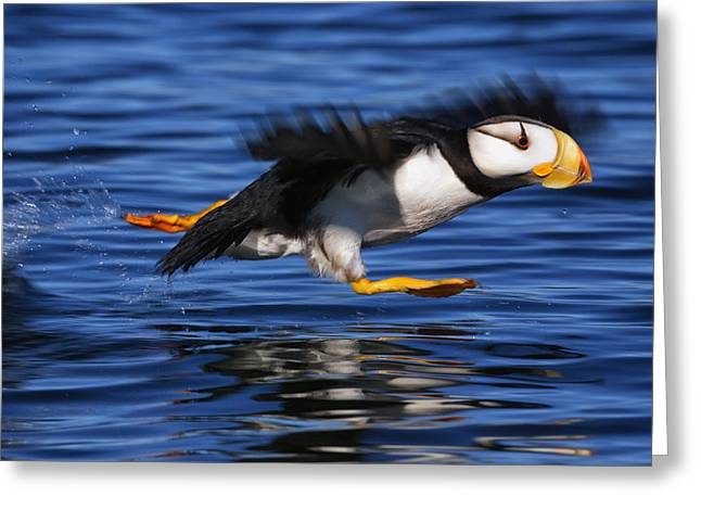 Mid-air Greeting Cards - Horned Puffin  Fratercula Corniculata Greeting Card by Marion Owen