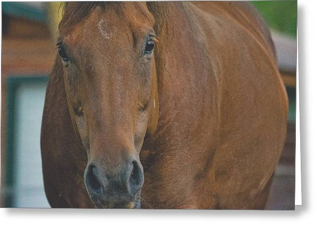 The Horse Greeting Cards - Horse - Benson - Ready for My Close Up Greeting Card by Black Brook Photography