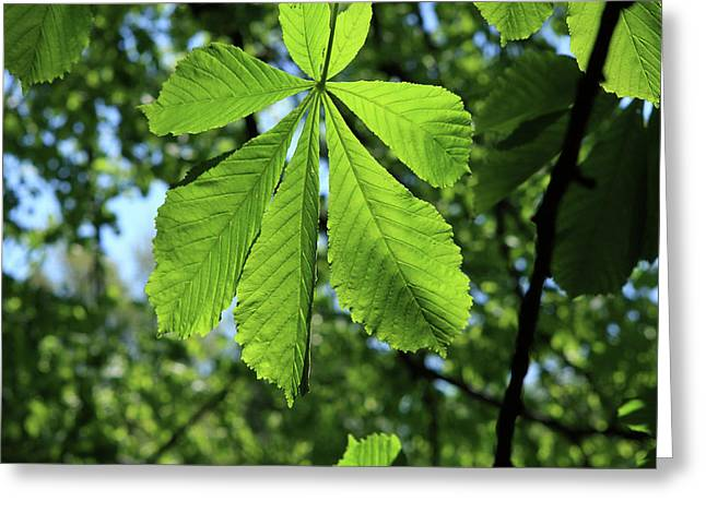 Horse-chestnut Tree Greeting Card by Aidan Moran