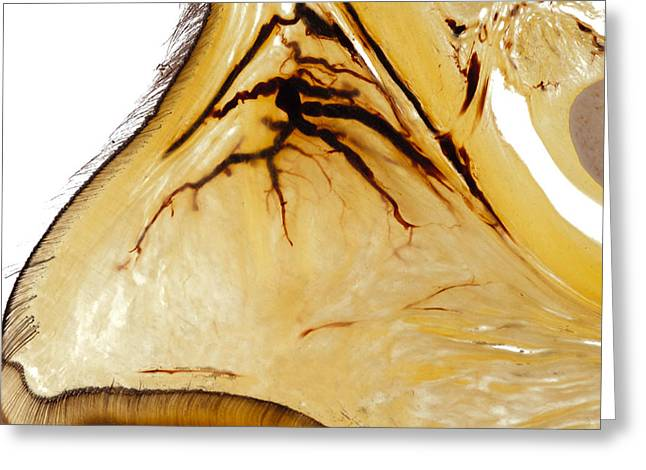 ery Sculptures Greeting Cards - Horse hoof heel and cartilage vascularisation 30212 Greeting Card by Christoph Von Horst