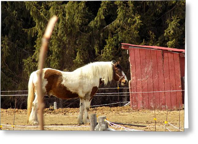 Maine Farms Greeting Cards - Horse on Farm Greeting Card by William Tasker