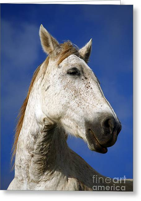 Animals Greeting Cards - Horse portrait Greeting Card by Gaspar Avila