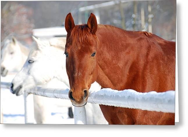 Dressage Photographs Greeting Cards - Horses Greeting Card by Jaroslaw Grudzinski
