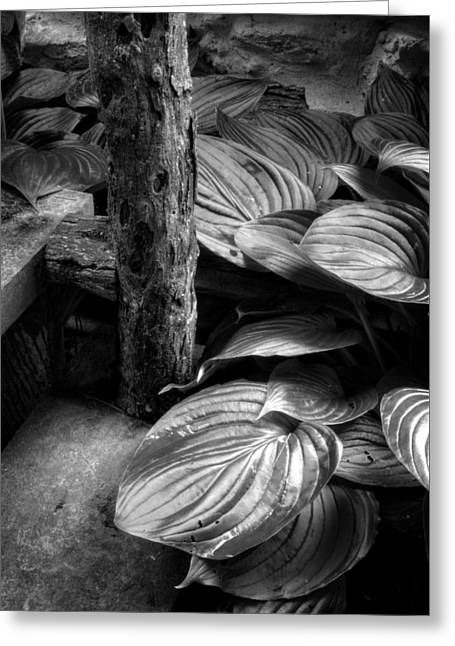 Hostas Greeting Cards - Hosta And Steps In Black and White Greeting Card by Greg and Chrystal Mimbs
