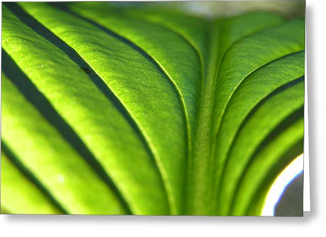 Backlit Greeting Cards - Hosta Leaf 3 Greeting Card by Dustin K Ryan