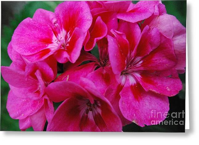 Hot Pink Geranium Greeting Card by Sharen Duffing