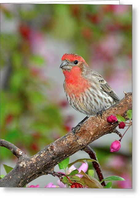 House Finch Greeting Cards - House Finch  Greeting Card by Betty LaRue