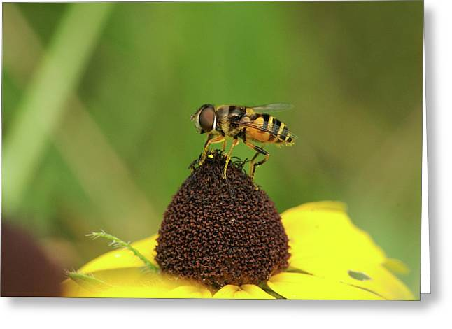 Hoverfly On Brown Eyed Susan Greeting Card by Michael Peychich