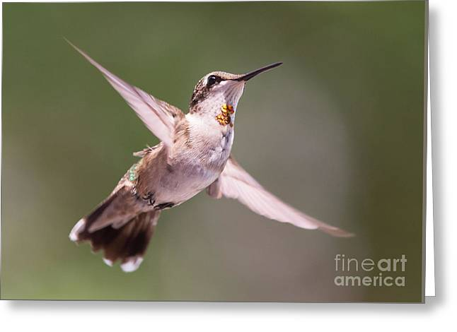 Hovering Greeting Cards - Hovering Hummer 4 Greeting Card by Kevin McCarthy