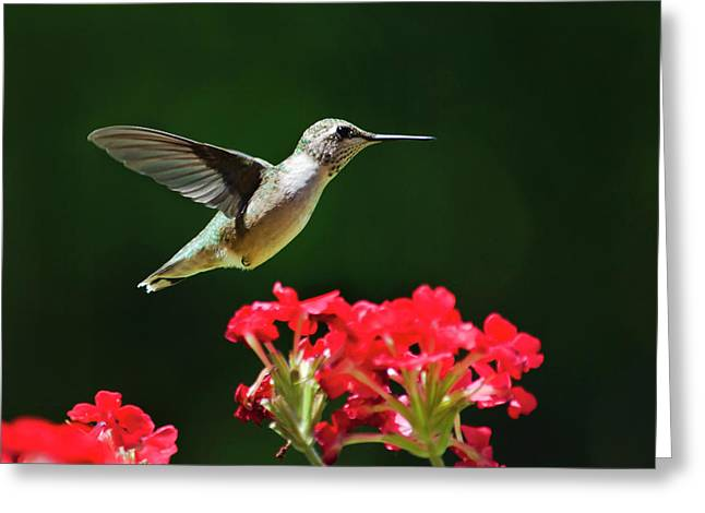 Hovering Greeting Cards - Hovering Hummingbird Greeting Card by Christina Rollo