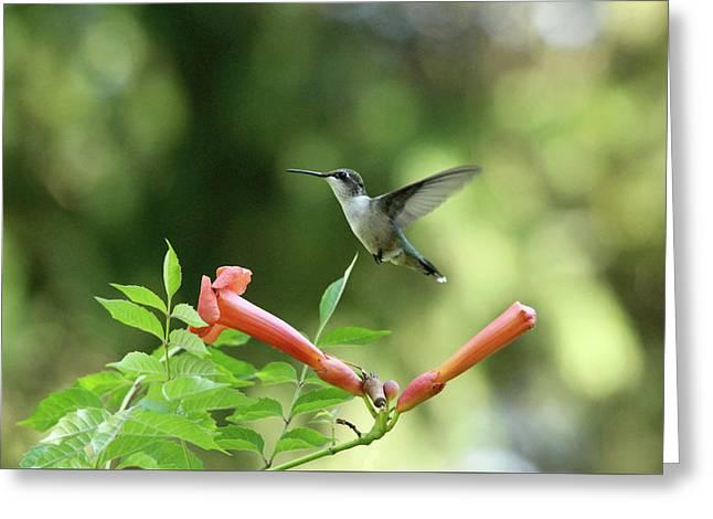 Hovering Hummingbird Greeting Card by Debbie Oppermann