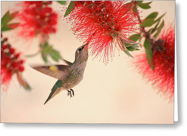 Hovering Greeting Cards - Hovering Hummingbird Greeting Card by Penny Meyers