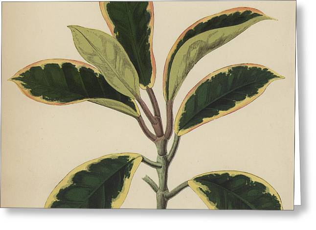 Hoya Variegata Greeting Card by English School