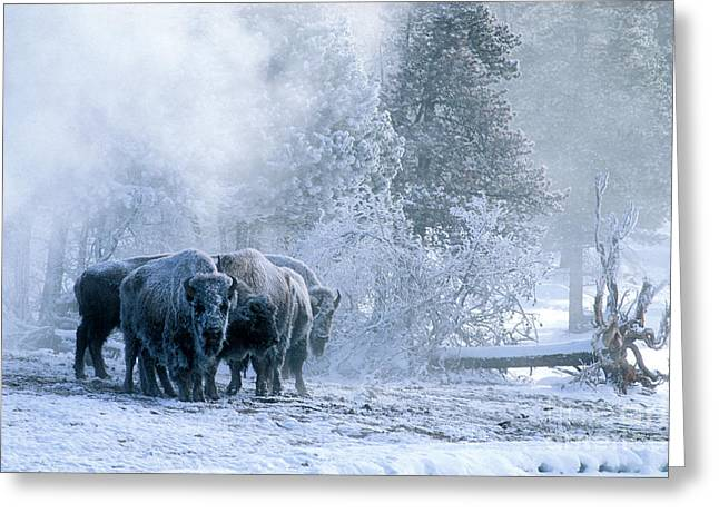 Yellowstone Greeting Cards - Huddled For Warmth Greeting Card by Sandra Bronstein