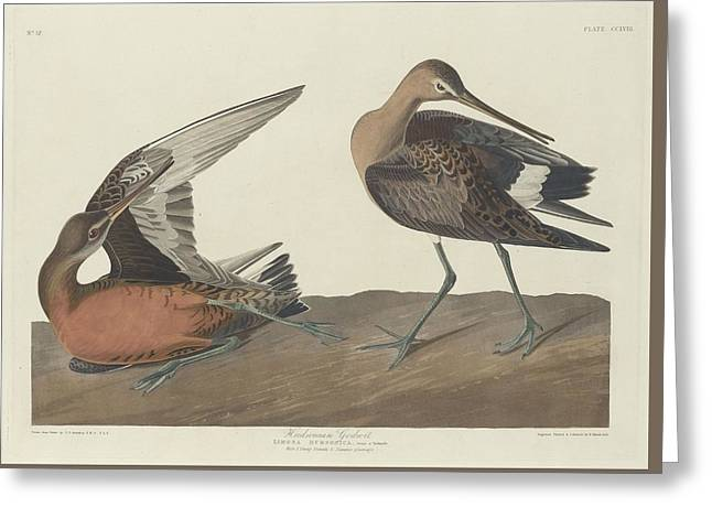 Shorebird Greeting Cards - Hudsonian Godwit Greeting Card by John James Audubon