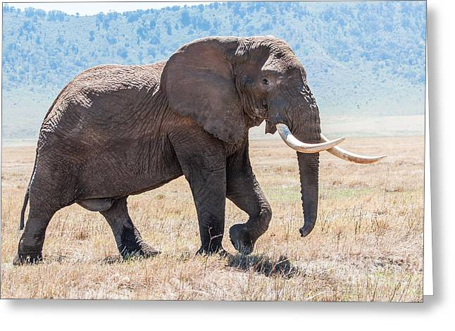 African Heritage Greeting Cards - Huge elephant bull walking in Ngorongoro Crater in full view Greeting Card by Jacques Jacobsz