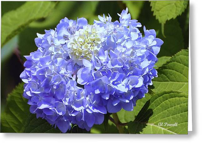 Al Powell Photography Usa Greeting Cards - Huge Hydrangea Greeting Card by Al Powell Photography USA