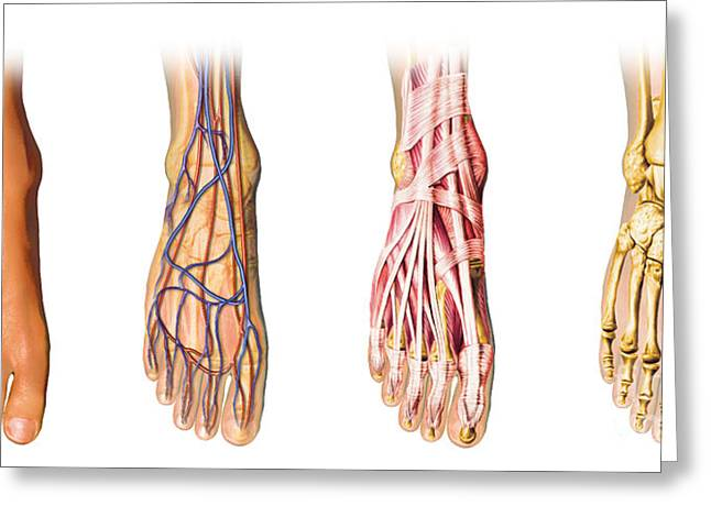 Biomedical Illustrations Greeting Cards - Human Foot Anatomy Showing Skin, Veins Greeting Card by Leonello Calvetti