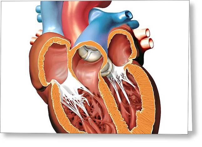 Human Heart Anatomy, Artwork Greeting Card by Jose Antonio PeÑas