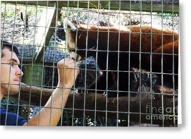 Human Interaction With Red Panda Greeting Card by Megan Reshni