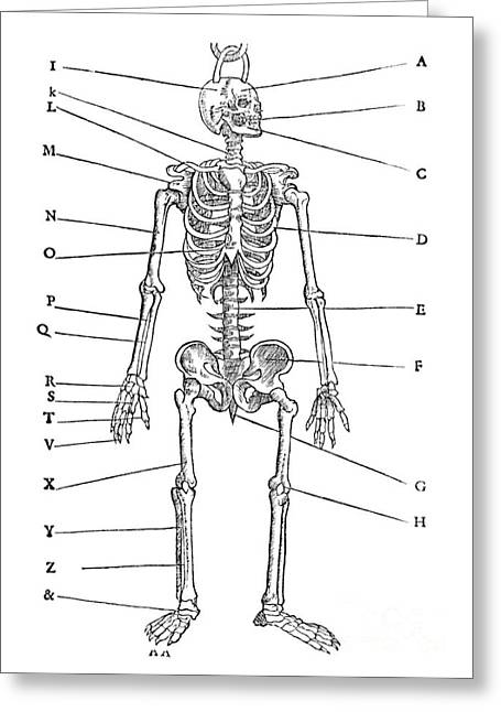 1555 Greeting Cards - Human Skeleton, 1555 Greeting Card by Middle Temple Library