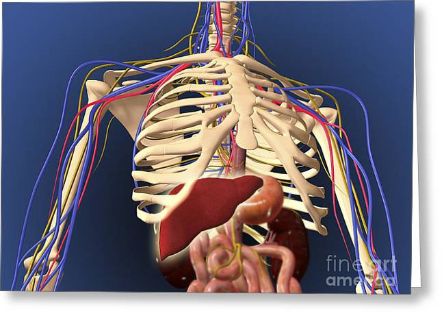 Interchondral Ribs Greeting Cards - Human Skeleton Showing Digestive System Greeting Card by Stocktrek Images