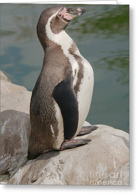 African-americans Greeting Cards - Humboldt Penguins Greeting Card by Mickey At Rawshutterbug