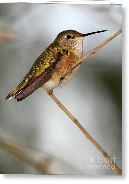 Humming Bird Greeting Cards - Hummingbird at Rest Greeting Card by Sabrina L Ryan