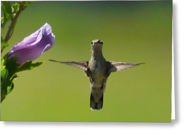 Althea Greeting Cards - Hummingbird Cross Greeting Card by Foto Hysteria