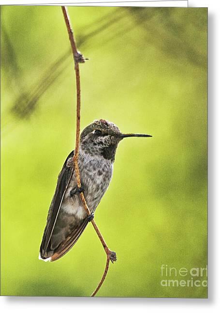 Hummingbird In Lemon Light Greeting Card by Ruth Jolly