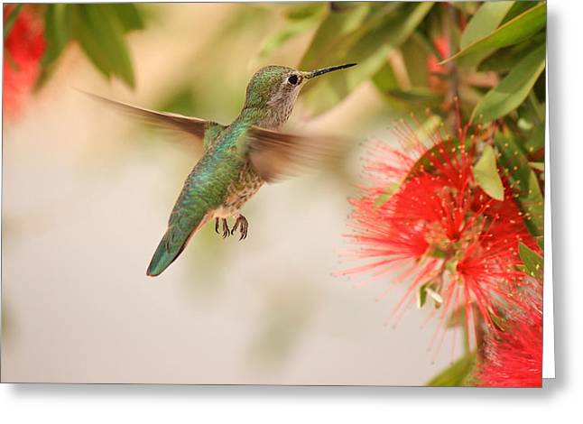Hovering Greeting Cards - Hummingbird in Paradise Greeting Card by Penny Meyers
