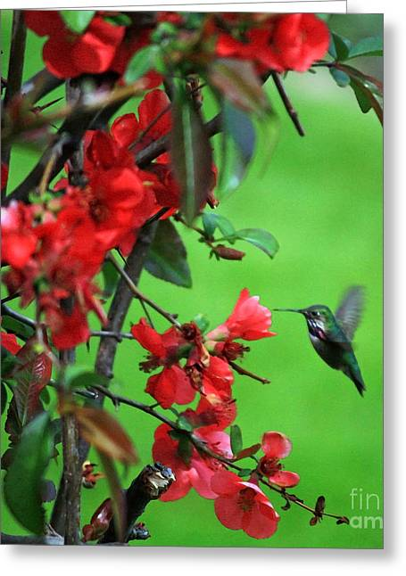 Back Yard Birds Greeting Cards - Hummingbird in the Flowering Quince - Digital Painting Greeting Card by Carol Groenen