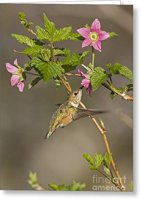 Rufus Greeting Cards - Hummingbird Lunch  Greeting Card by Tim Grams