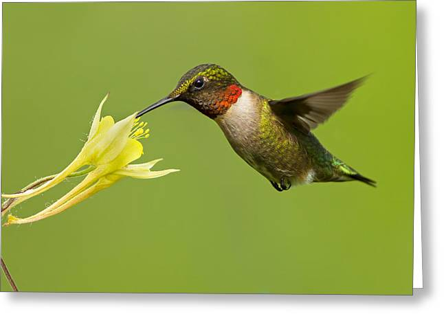 Feeding Birds Greeting Cards - Hummingbird Greeting Card by Mircea Costina Photography