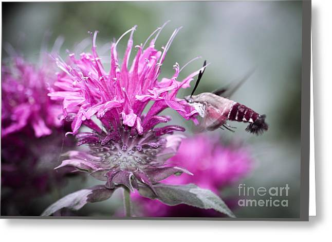 Hovering Greeting Cards - Hummingbird Moth Greeting Card by Alicia Collins
