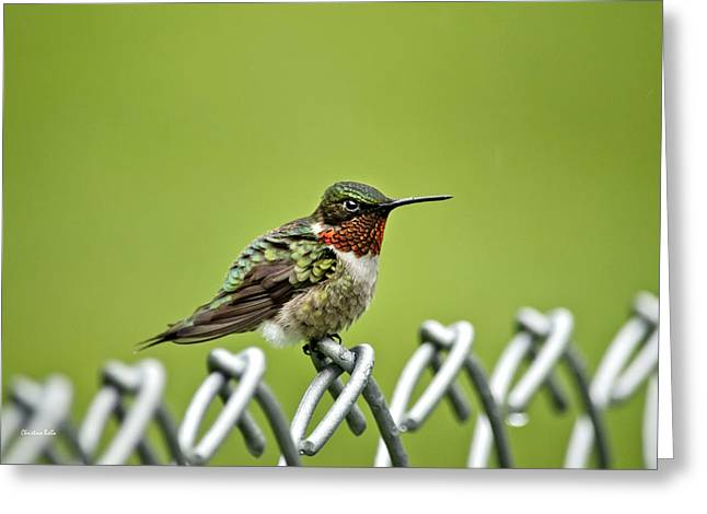 Archilochus Colubris Greeting Cards - Hummingbird on a Fence Greeting Card by Christina Rollo