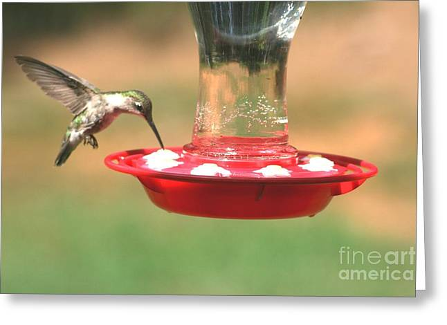 Migrating Hummingbird Greeting Cards - Hummingbird Greeting Card by Stacy C Bottoms