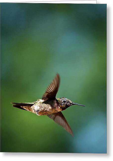 Swooping Greeting Cards - Hummingbird Swoop Greeting Card by Christina Rollo