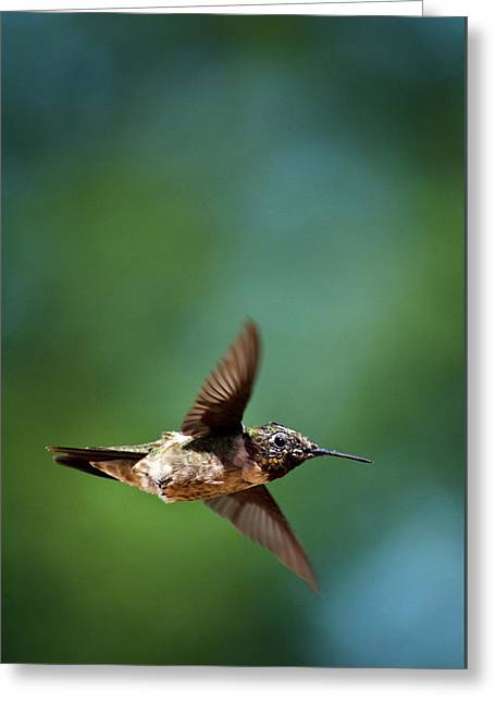 Flying Animal Greeting Cards - Hummingbird Swoop Greeting Card by Christina Rollo