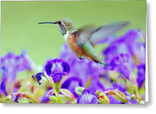 Hummingbird Visiting Violets Greeting Card by Laura Mountainspring