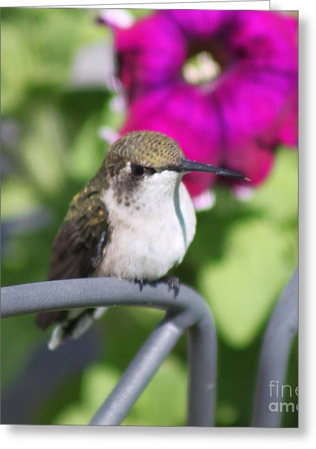 Resting Spot Greeting Cards - Hummingbird Waiting Spot Greeting Card by Cathy  Beharriell