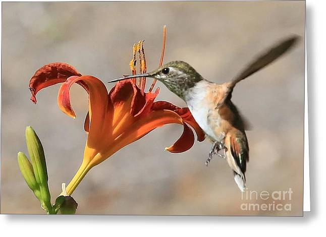 Bird In Flight Greeting Cards - Hummingbird Whisper  Greeting Card by Carol Groenen